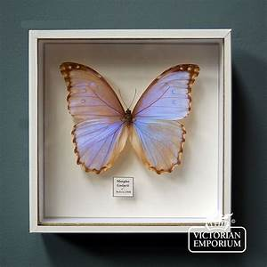 Iridescent Butterfly in display case Natural curiosities