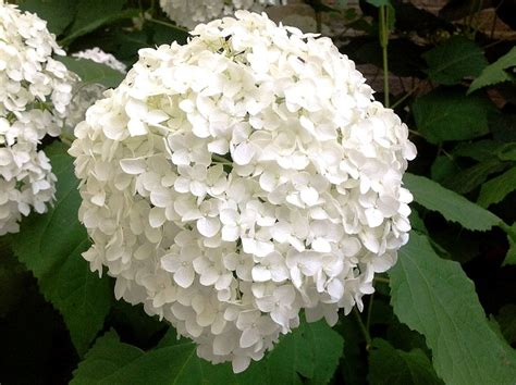 white flower varieties 5 must have shrubs with white flowers to extend the life of your garden