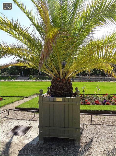 canary island date palm  jardin du luxembourg