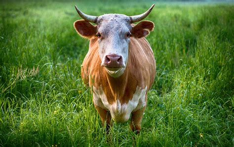 Cow Animal Symbolism And Cow Meanings On Whats-your-sign