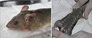 Mastomys Natalensis  The Reservoir Of Lassa Virus  The