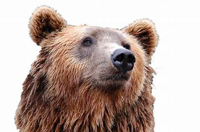Bear Head Brown Transparent Grizzly Clipart Purepng