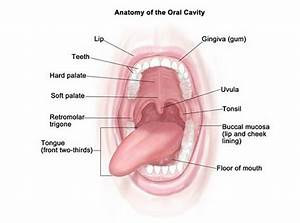 The Three Major Organs in Our Mouth