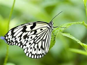 Black and White Butterfly - Wallpaper #32271