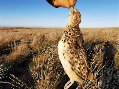 algeria buttonquail andalusian common turnix sylvaticus moussa observed decades three andalousie nov east north