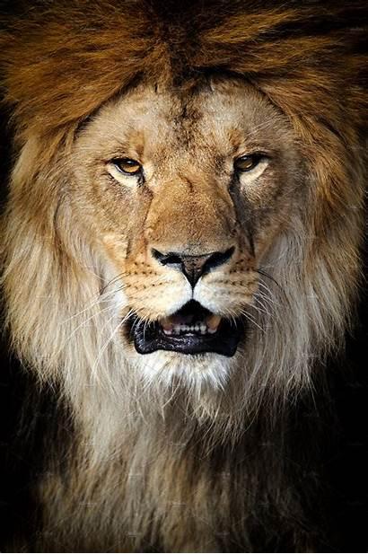 Lion Face Portrait Background Tattoo Mane Royalty