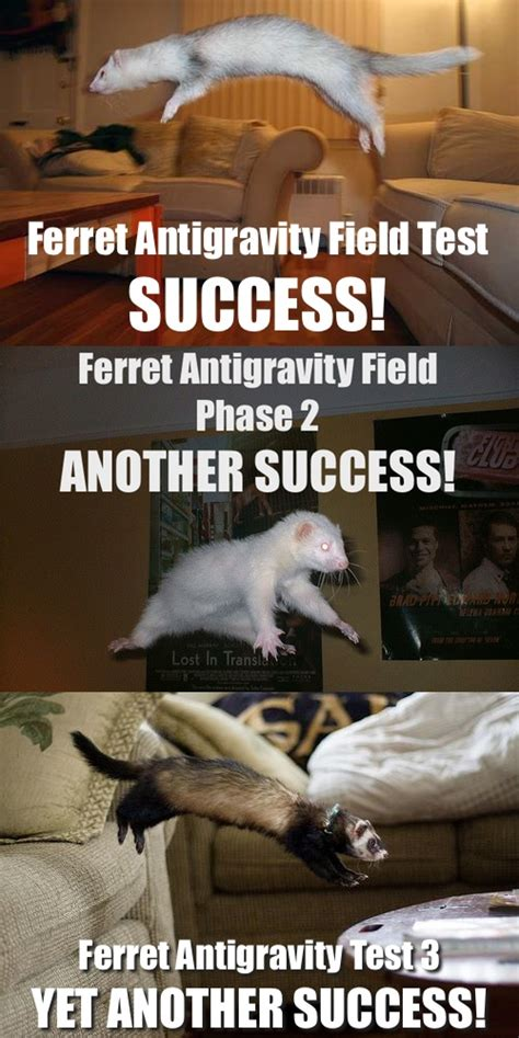 Ferret Memes - 114 best images about ferrets on pinterest cute funny