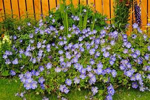 Bodendecker Blau Blühend Winterhart : 10 blau bl hende bodendecker f r ihren sch nen garten ~ Michelbontemps.com Haus und Dekorationen