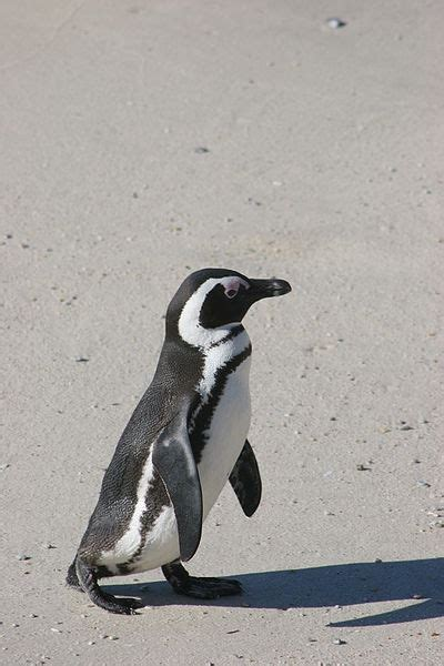 Monkey, black and white colobus. Picture 8 of 9 - African Penguin (Spheniscus Demersus) Pictures & Images - Animals - A-Z Animals