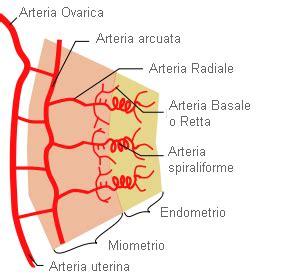vasi arteriosi endometrio