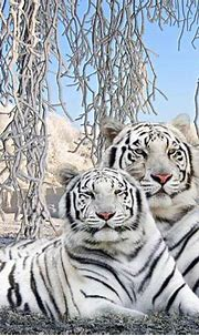 Baby White Tiger Wallpapers - Wallpaper Cave