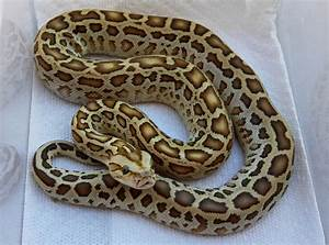 For Sale 2011 HYPO BURMESE PYTHONS, HYPO GREENS, AND HYPO ...