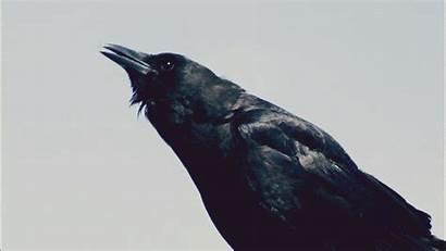 Gifs Crow Corvo Bird Marylin Giphy Animados