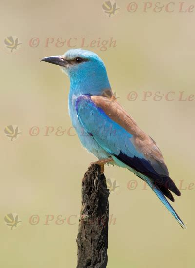 surfbirds  photo gallery search results
