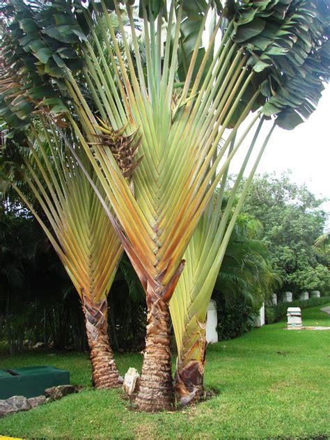 arbre du voyageur planter et entretenir ooreka