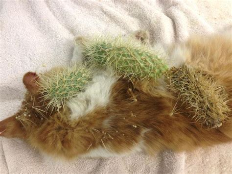 Cactus-stung Kitty Gets Proud New Owner