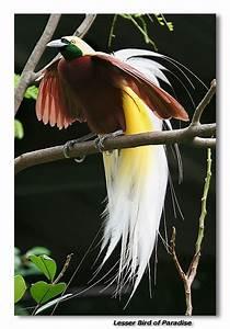 Lesser Bird of Paradise photo - Robert photos at pbase.com