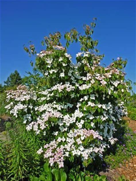 hartriegel pflege pflanzen schneiden und vermehren