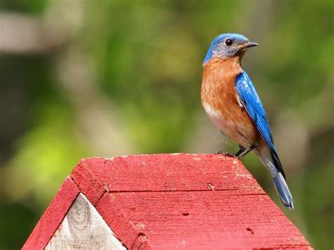 eastern bluebirds wallpaper