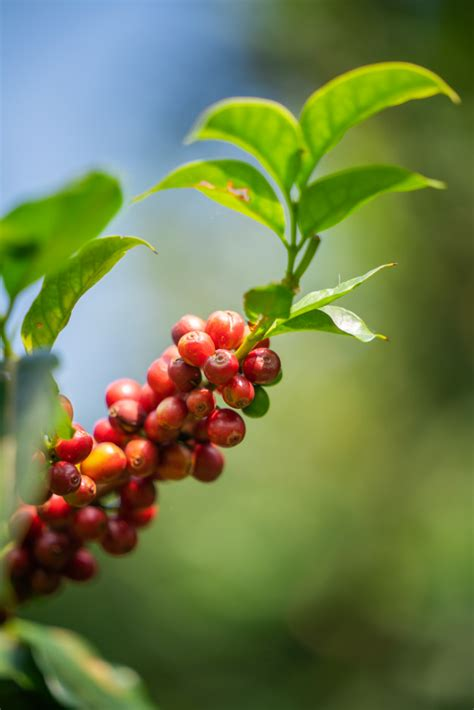 Affordable and search from millions of royalty free images, photos and vectors. Fresh coffee beans on tree   Premium Photo