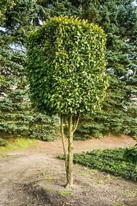 Johannisbeeren Hochstamm Kaufen : hainbuche hochstamm kastenform carpinus betulus g nstig ~ Lizthompson.info Haus und Dekorationen