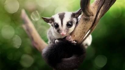Sugar Glider Possum Animals Gliders Petaurus Funny