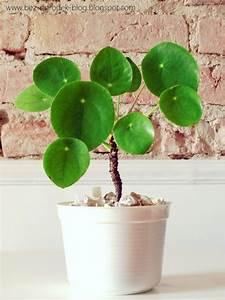 Pilea Pflanze Kaufen : 74 besten pretty pilea please bilder auf pinterest ~ Michelbontemps.com Haus und Dekorationen