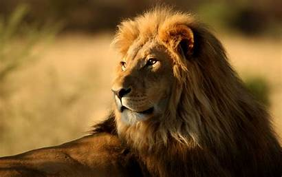 Lion Wallpapers Definition 1080p