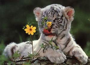 Cool HD Nature Desktop Wallpapers: White Tiger Cubs