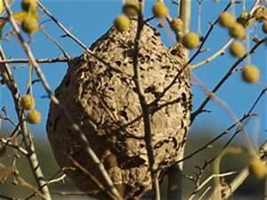 Comment Repérer Un Nid De Frelon : frelons asiatiques que faire en pr sence d un nid ~ Melissatoandfro.com Idées de Décoration