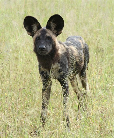 african wild dog facts  pictures  wildlife photographs