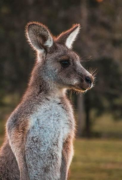 Kangaroo Animal Wool Animals Unsplash Iphone