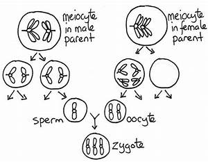 If Haploid Cells Are Obtained At Meiosis  Then Why Does Meiosis Ii Occur