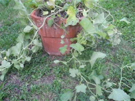 savourez les melons jardiner avec jean paul