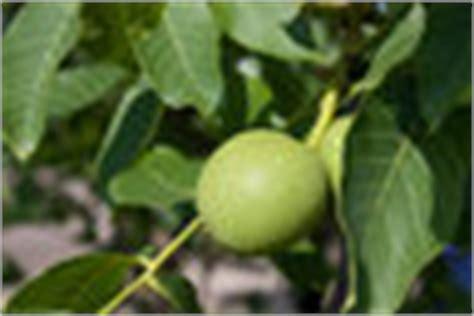 walnussbaum wachstum pro jahr walnussbaum kaufen darauf sollten sie achten