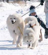 Giant Dog Breed Samoyed