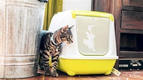creative ways  hide  cats litter box healthy paws