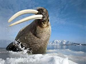 Arctic Ocean Animals | Walrus Arctic Ocean iPad Wallpaper ...