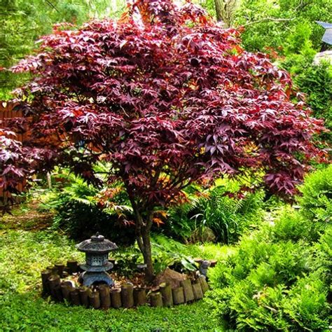 how to plant a japanese maple tree bloodgood japanese maple for sale online the tree center