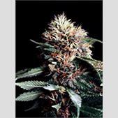 Erowid Cannabis...