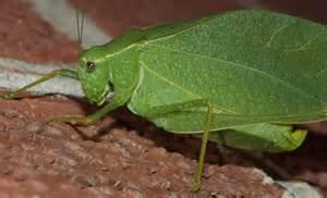 Katydid Tettigoniidae