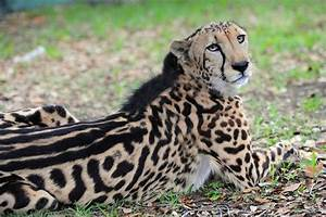 King cheetah - SaveEn.org