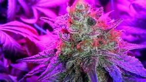 Pflanzen Led Licht : cannabis anbau licht beleuchtung ~ Markanthonyermac.com Haus und Dekorationen