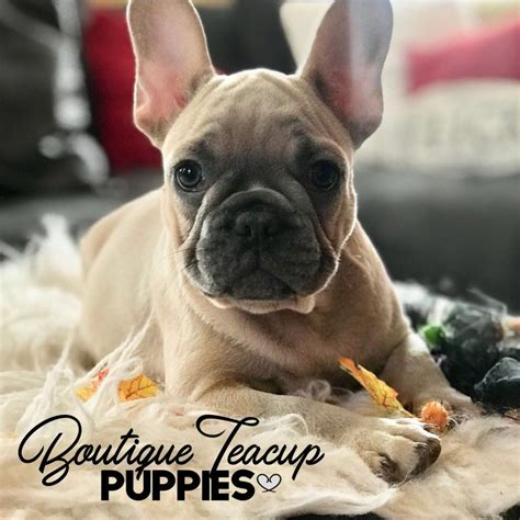 teacup french bulldog full grown bulldog lover