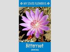 Montana's state flower Bitterroot God's Country Area