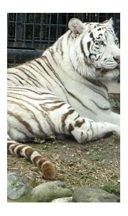 Rare White Tiger Kills Zookeeper in Japan - The New York Times