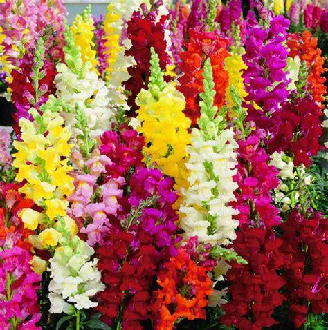 trixi bloem 100 dragon flower antirrhinum snapdragon seeds exotic