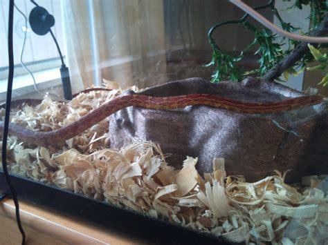 Aspen Bedding For Snakes by Corn Snake Or Python Arachnoboards
