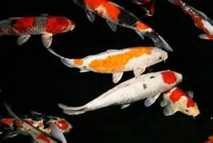 Karpfen Im Gartenteich : gartenteich fische koi karpfen biotop fische g nstig ~ Lizthompson.info Haus und Dekorationen