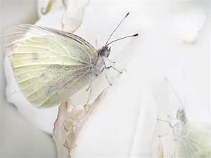 White butterfly wallpaper ~ Funny Wallpaper